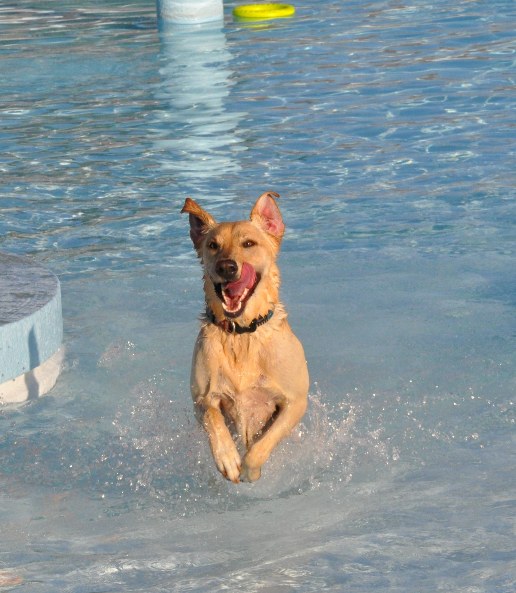 A dog plays at the Louisburg Aquatic Center during last year&#39s Paws at the Pool event.